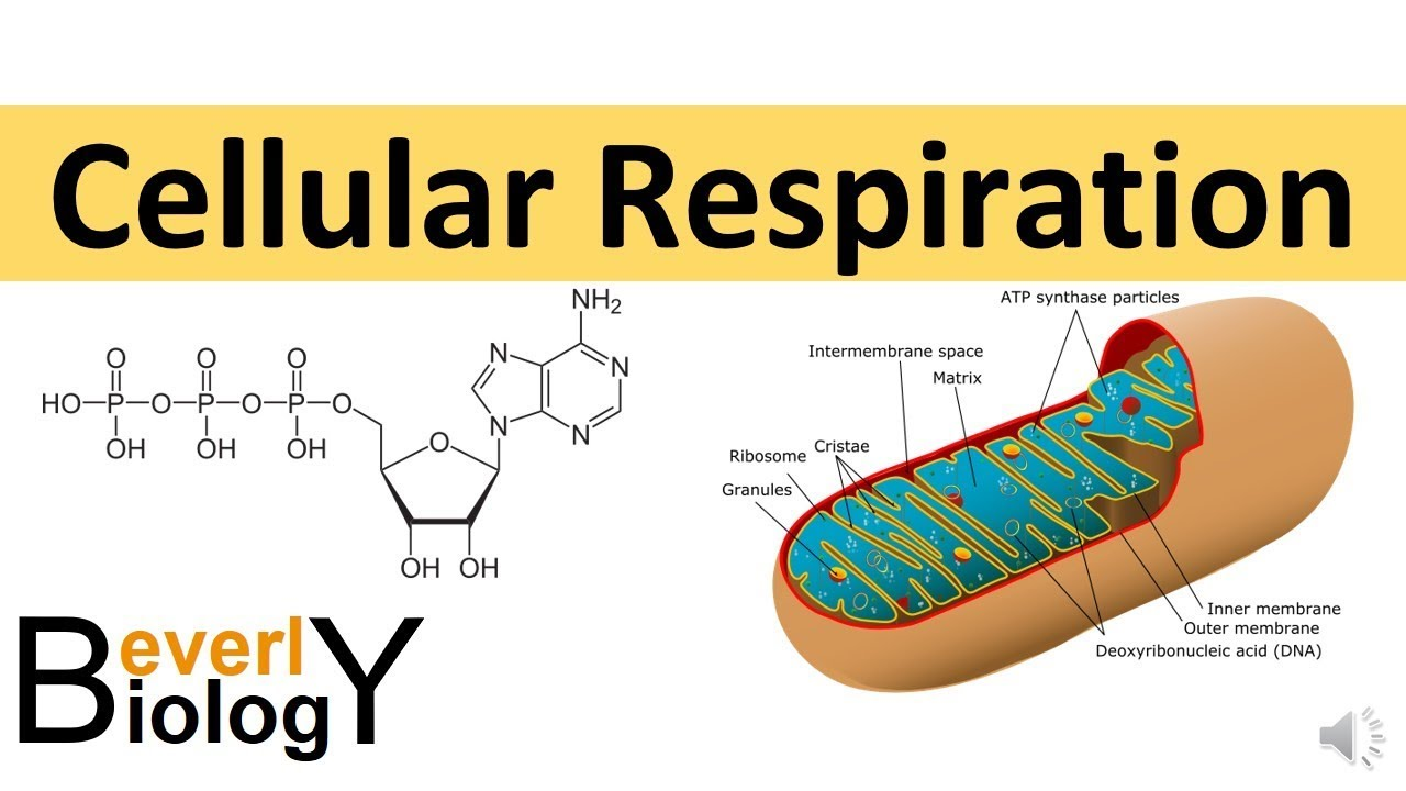 Cellular Respiration (in detail) - YouTube