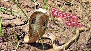 Cobra thrilling rescue must watch | कोब्रा नागाचा थरारक रेस्कु