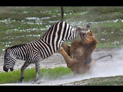 LIVE: The Best Attacks of Wild Animals World 2017 - Fight For The Survival of Wildlife