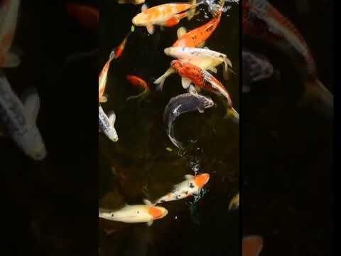 [samsung Theme- Video Wallpaper] Fish