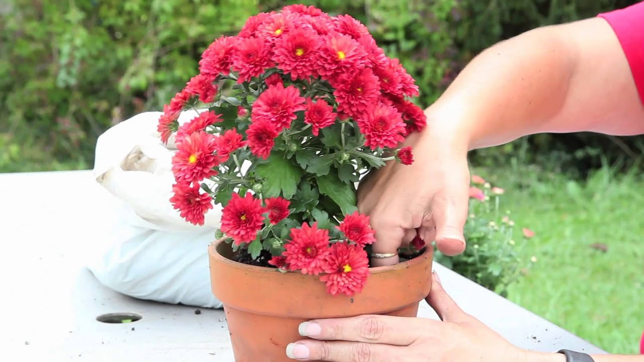 How To Grow Mums In A Pot Gardening With Mums Youtube