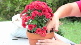 How to Grow Mums in a Pot : Gardening With Mums