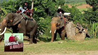 Таиланд. Слоны. Часть 2  🐾 Про животных и людей 🌏 Моя Планета