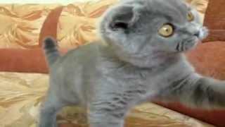 Котенок скоттиш фолд