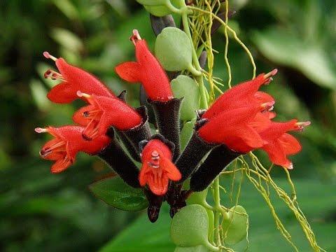 ЭСХИНАНТУС. Ампельное растение для подвесных корзинок. Советы по уходу