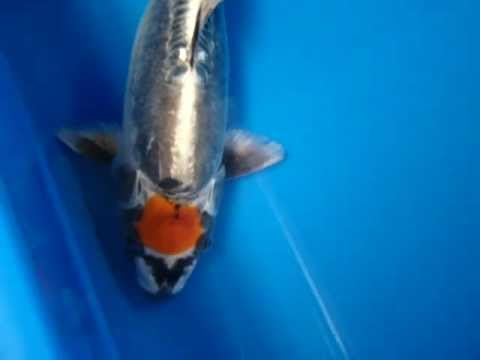 unique ikarashi tancho kikokuryu rare koi fish youtube