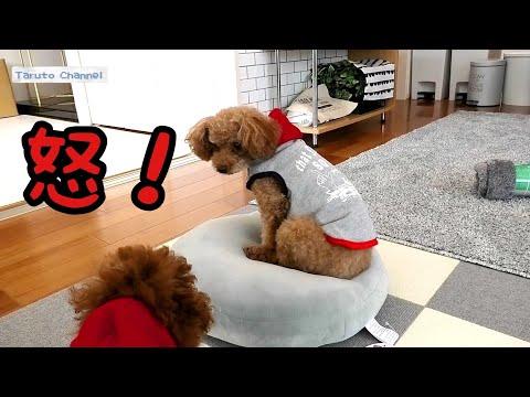 Taru�ゃん怒る�����ん��を食�る�トイプードル�Taruto&Rasuku