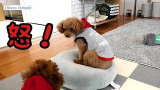 ダイソーで犬服を購入しました   TaruちゃんとRasuくん、お揃いコーデで...