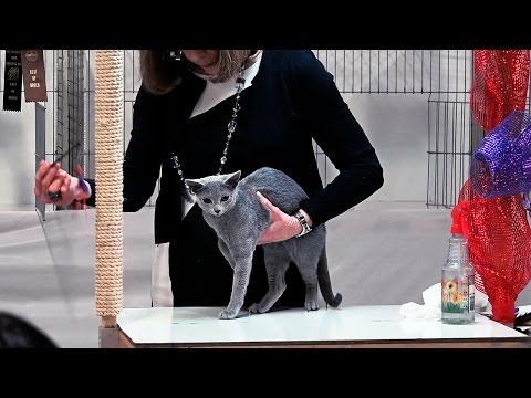 CFA World Show 2014, Other breed kittens, Red Show set 2