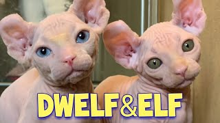 Adorable Dwelf Cat & Elf Cat Compilation : New Hairless Cat Breeds