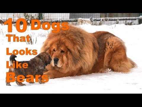 10 Breeds of Dogs that Looks like Bears (For Real)