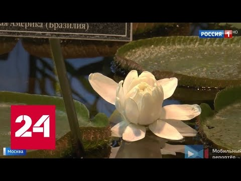 """Хищная красота: в """"Аптекарском огороде"""" расцвела самая большая кувшинка в мире - Россия 24"""
