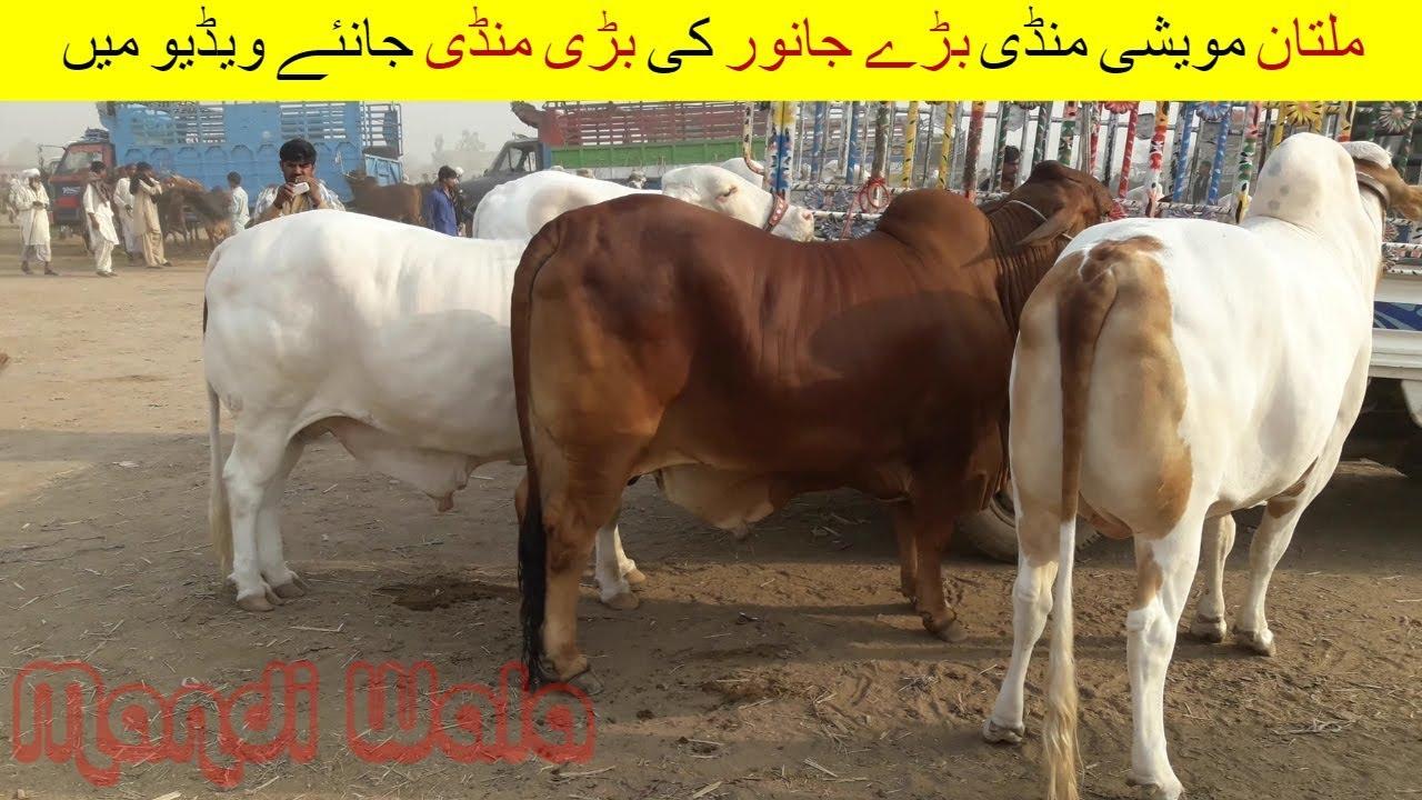 72 | Cow mandi 2018/2019 Multan | Video in Urdu/Hindi | Dairy & Cattle  Farming