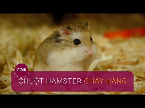 Tết Canh Tý: Chuột Cảnh Hamster