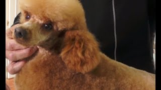 Собаки-собачьи стрижки. Как подстричь пуделя Той?