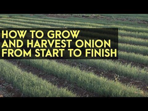How to Plant, Grow and Harvest Onions from Start to Finish: