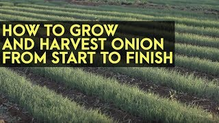 How to Plant, Grow and Harvest Onions from Start to Finish: Full Instructional Video