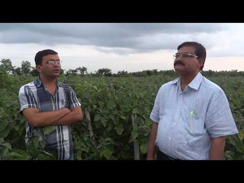 Grafted Brinjal - Yield Up-to 180 Ton / Acre