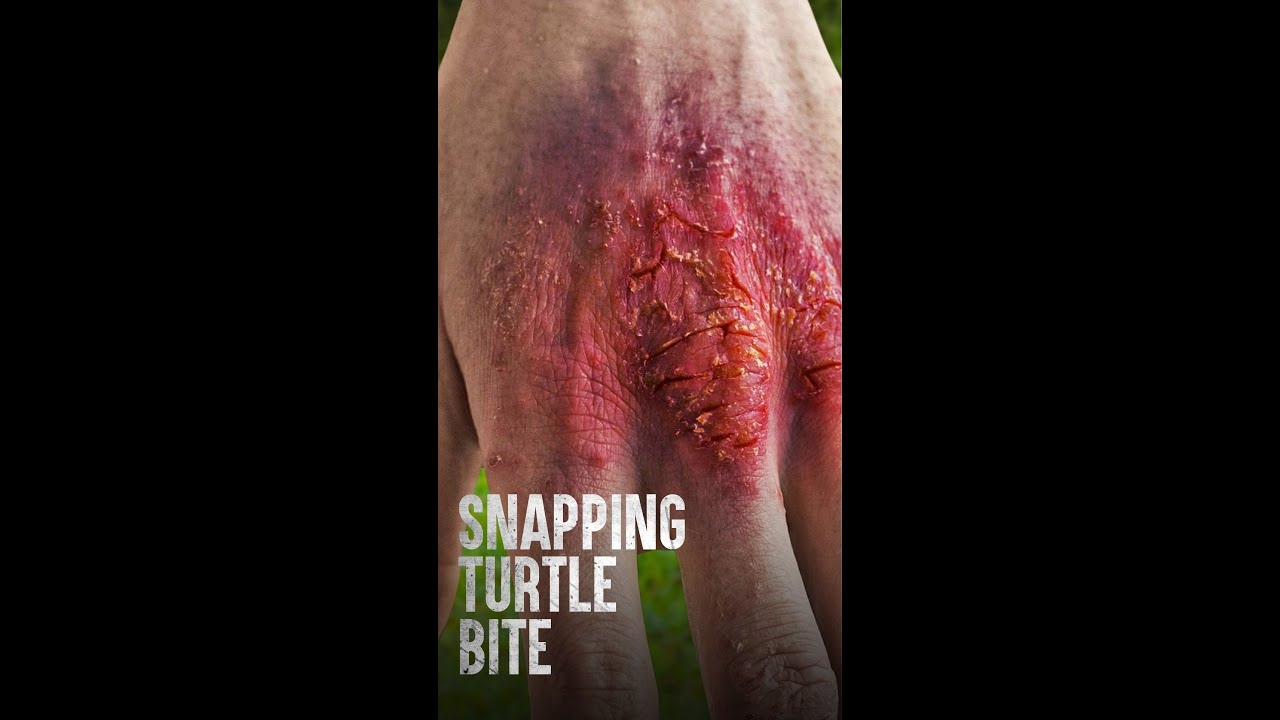 How Dangerous Is a Snapping Turtle? #Shorts