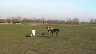 Jindo, Great Dane And Labrador Chase A Car Idealk9.com