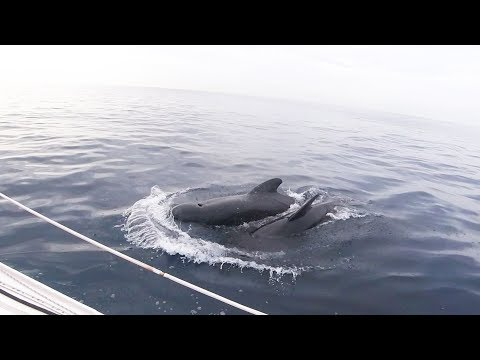 Strange encounter at sea with pilot whales - Ep 17 - The Sailing Frenchman
