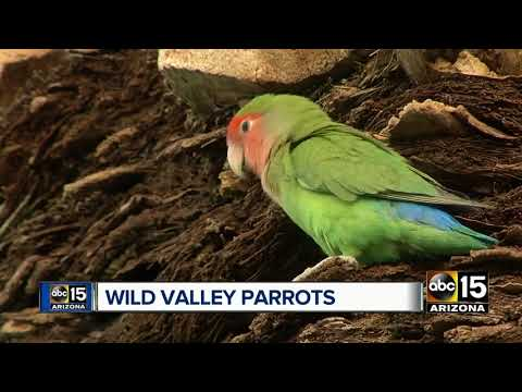 Wild parrots can be spotted in Phoenix neighborhoods