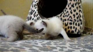 Тайская кошка 1.MPG