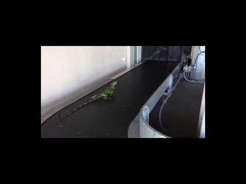 Don Action Jackson - Iguana Gets His Exercise In On An Airport Conveyor Belt