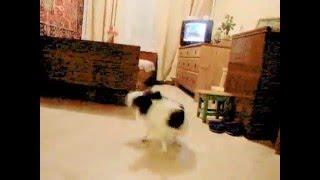 Танец с хвостом - папийон Dizi