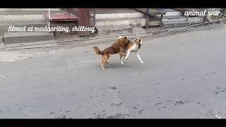 Dogs fighting on street. Mating season fight.