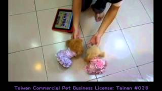 Pocket Teaucp Poodle Toy Teacup Poodles Puppy