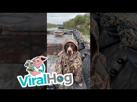 German short haired Pointer Doesn't Let Cold Weather Ruin His Hunt || ViralHog