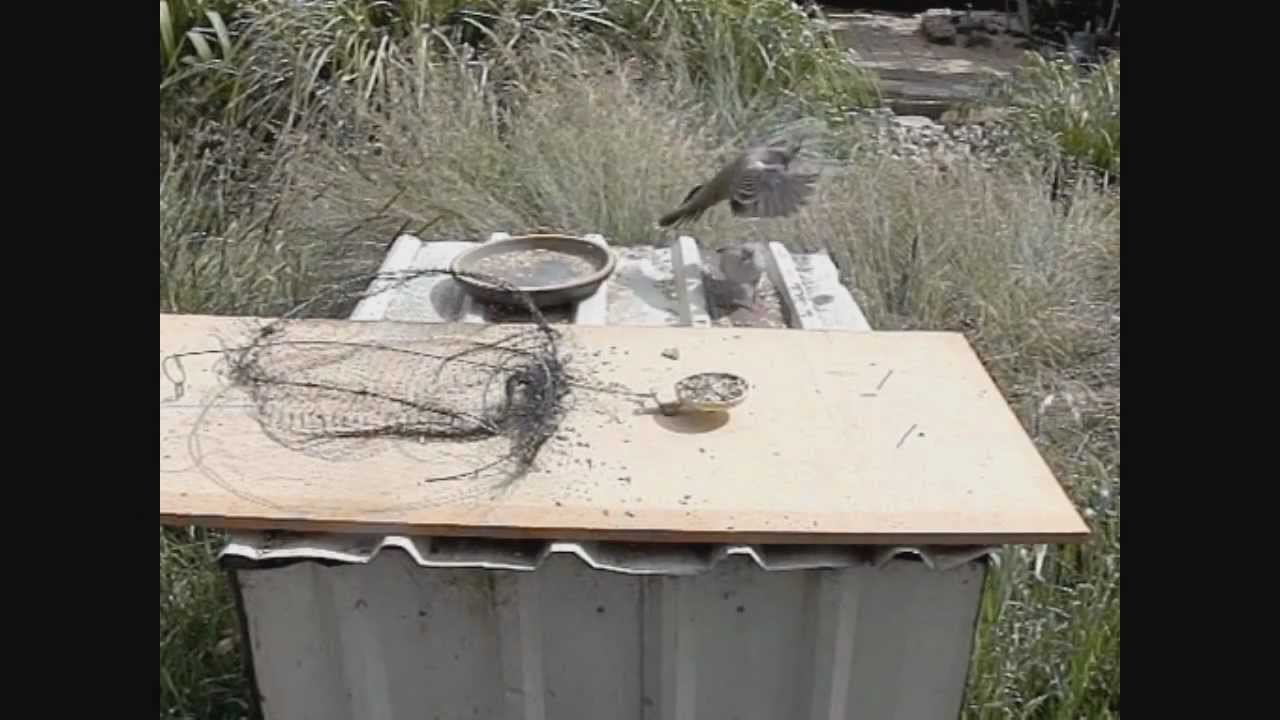 how to make a bird trap that actually works!! youtube
