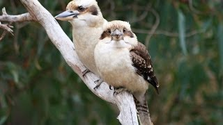 Finally got the kookaburra to pinch a snagga out my hand