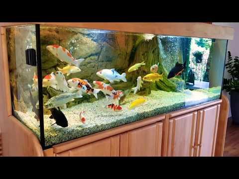 KOI For Sale   Japan Koi Fish Indoor 1000 Liter  KOI Zum Verkaufen