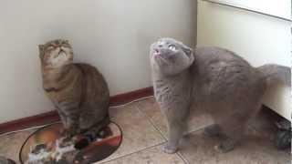 Cats Scottish fold Шотландская вислоухая кошка