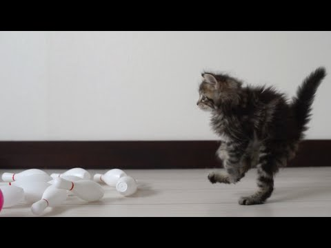 Thumbnail for Cat Video Kitten Bowling