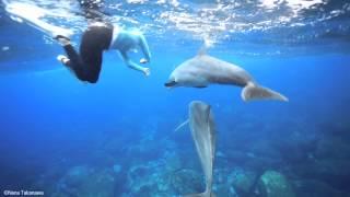 利島のドルフィンスイム  黒潮の海を泳ぐ野生イルカたち