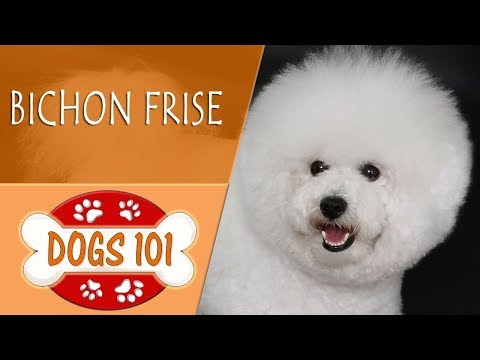 Dogs 101 -  BICHON FRISE - Top Dog Facts About the  BICHON FRISE
