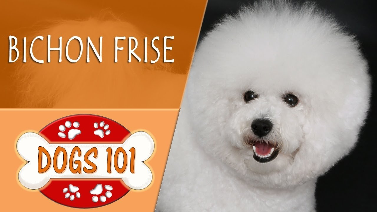 Dogs 101 Bichon Frise Top Dog Facts