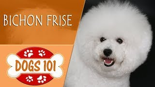 Dogs 101   BICHON FRISE  Top Dog Facts About the  BICHON FRISE