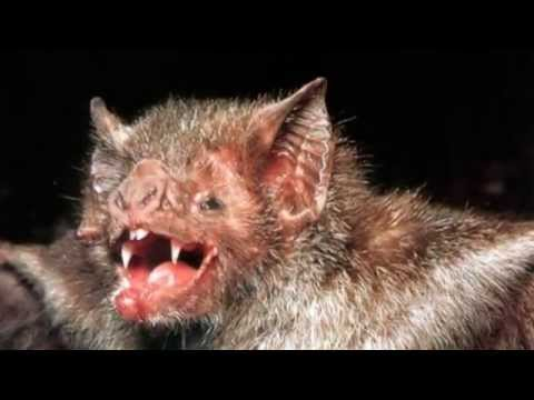 фото летучих мышей вампиров