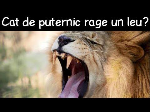 Cât de tare se aude răgetul unui leu? | Fapte la întâmplare #5