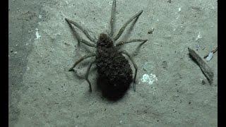 УЖАС!!! Огромный ядовитый крымский паук у меня во дворе!!!