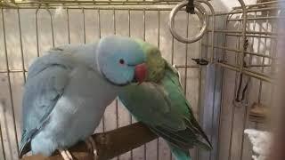 Как Шура ухаживает за Бусинкой. Ожереловые попугаи. Брачно-любовный период