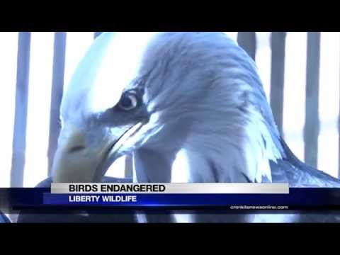 Lead poisoning endangering the condor and bald eagle bird population
