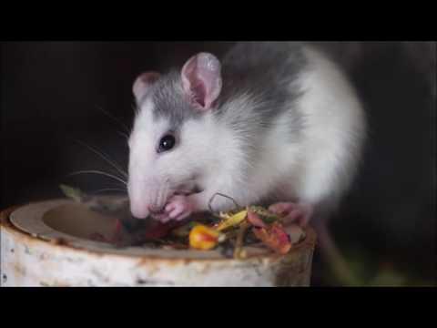 Rat   6281