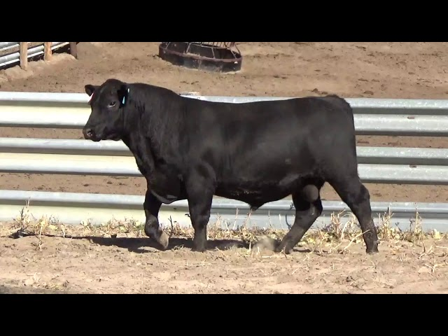 Connealy Angus Lot 20