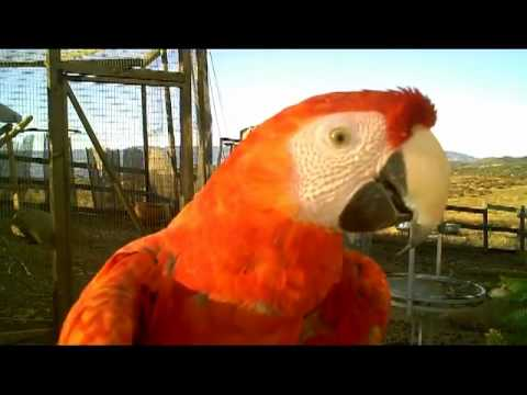 Red parrot youtube