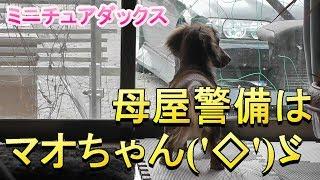 【ミニチュアダックス】母屋の警備はマオちゃん('◇')ゞ